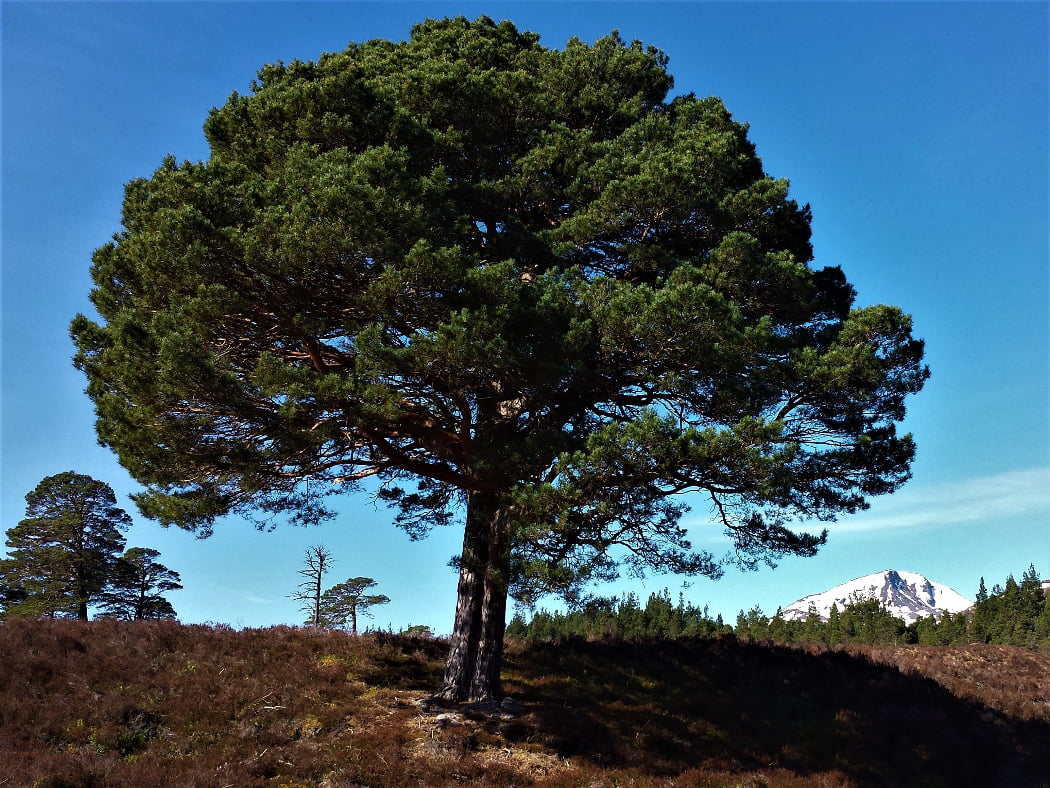 The image is filled with a fairly symmetrical Caledonian Pine Tree, growing on a heather-clad slope. There are a few other Caledonian Pines and other conifers growing in the background, and in the distance a snow covered peak stands against the blue sky.
