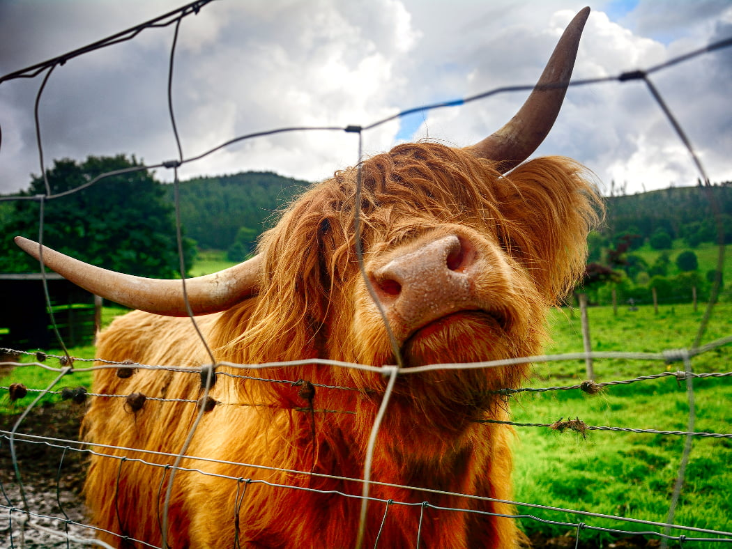 A ginger-coloured hairy cow with horns rubbing its throat on a barbed wire fence fills this image. The background is of Kilmahog on our Stirling Castle and Highland Cattle Tour. It is out-of-focus green field, wooded hill and cloudy sky.