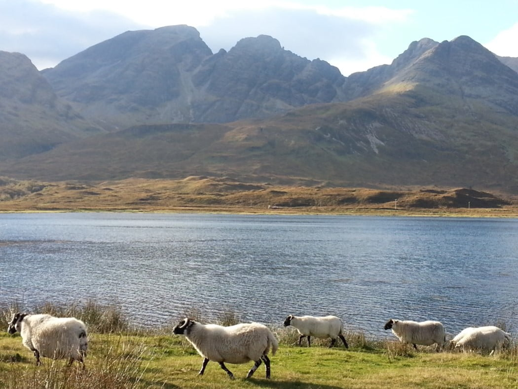 Six Highland Blackface Sheep stroll along the grass beside the sea, at Loch Slapin on the Skye and Eilean Donan Castle Tour. Across the water, the entire picture is filled with the great bulk of a dark mountain of bare rock (Bla Bheinn) rising from the water's edge.