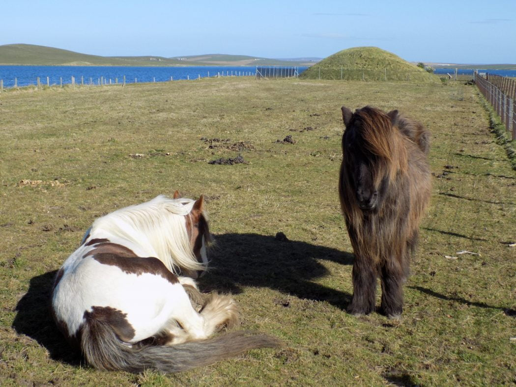 Two wee ponies in the foreground. Abrown and white one lying down, and a brown one standing looking towards us. In the background is the small green hill of Unstan Tomb and behind that the blue waters of the Loch of Stenness. A cloudless blue sky above.