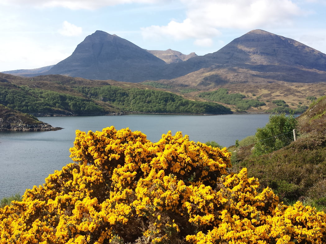 The foreground on our Ardvreck Castle and Geopark Tour is a bright yellow flowering yellow gorsebush. Behind is an arm of the Atlantic. On the far side of this is a bare, rocky, multi-peaked mountain under a bright but cloudy sky.