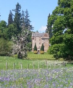 Castle Leod on our Clan Mackenzie Tour from Inverness is centrally placed in this picture, standing about three small fields away. It is a five-storey grey stone Tower House dating from the 1400's.The foreground is filled with bluebells. Across the fence in a grassy field is the dead skeleton of an enormous Spanish Chestnut tree. The castle stands on a manicured rise behind it, surrounded by large deciduous and coniferous specimin trees from many countries. The sky above is blue.