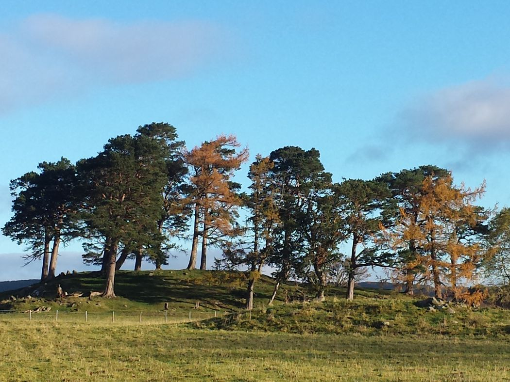 In the foreground is a field, and at the far side of that a fence. Beyond the fence the ground rises up to a grassy and slightly rocky knoll. This is crowned by a great circle of Caledonian Pines. The sky above is mixed cloudy and blue.